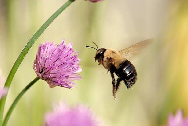 flight of a bumble bee - bumblebee stock pictures, royalty-free photos & images