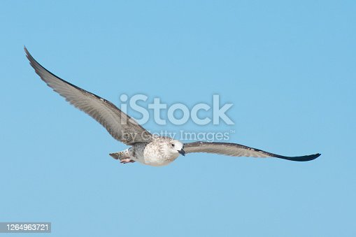 istock Flight of a large seabird. The seagull (Larus marinus) has spread its large wings. 1264963721