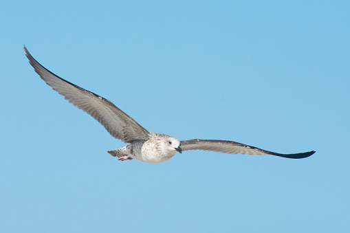 photo of black-headed gulls isolated on white background