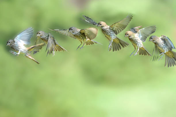 vol d'un moineau - oiseau chanteur photos et images de collection