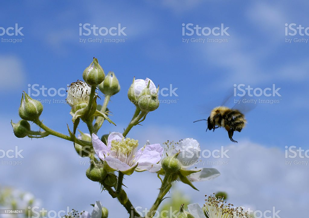 Flight of bumble bee stock photo
