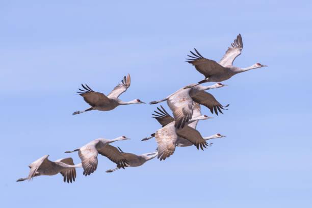 A Flight of Sandhill Cranes in Monte Vista, Colorado stock photo