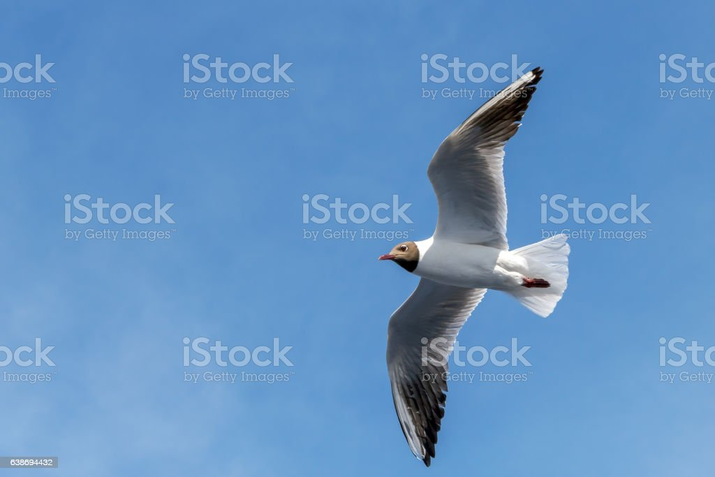 Flight of seagull on background of blue sky stock photo