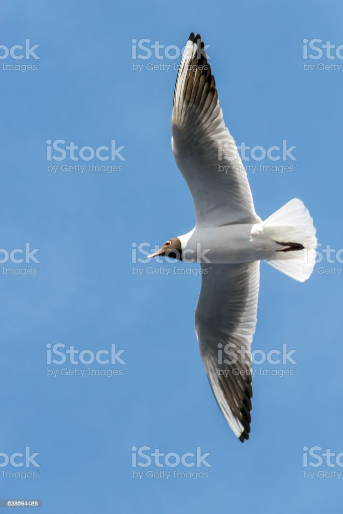 Flight of seagull on background of clear blue sky stock photo