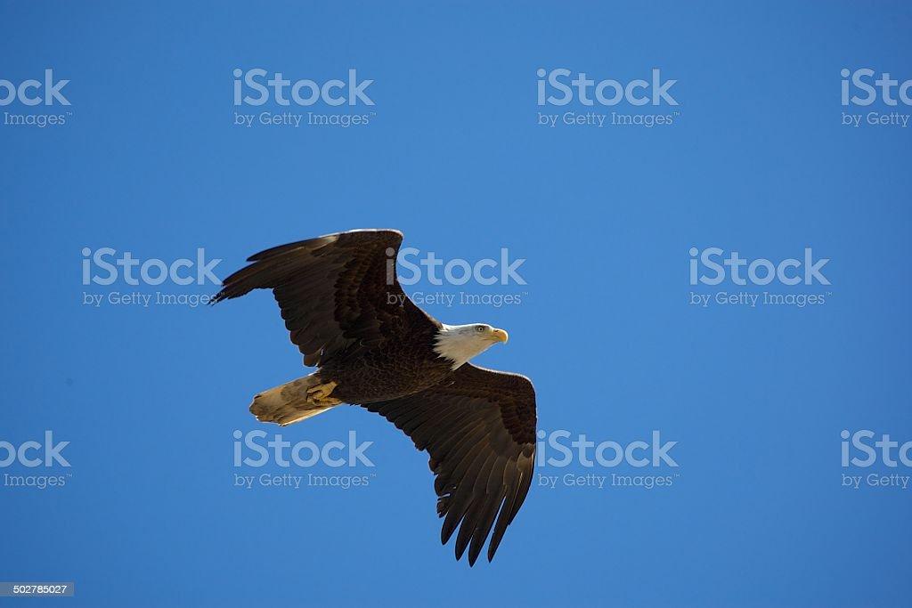 Flight of the Bald Eagle – Foto