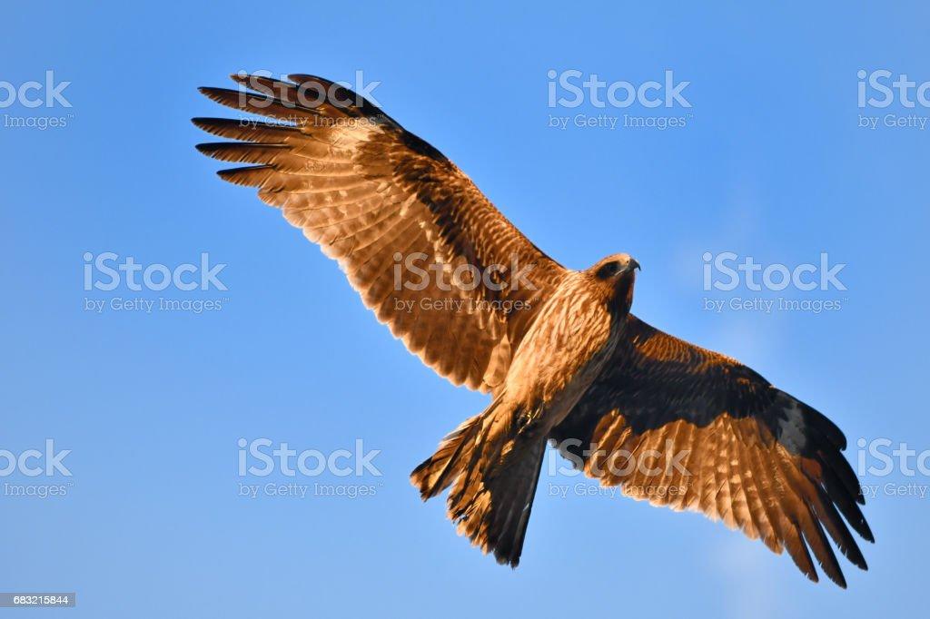 飛行的黑鳶 免版稅 stock photo