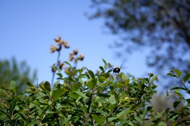 Flight of the Carpenter Bee stock photo