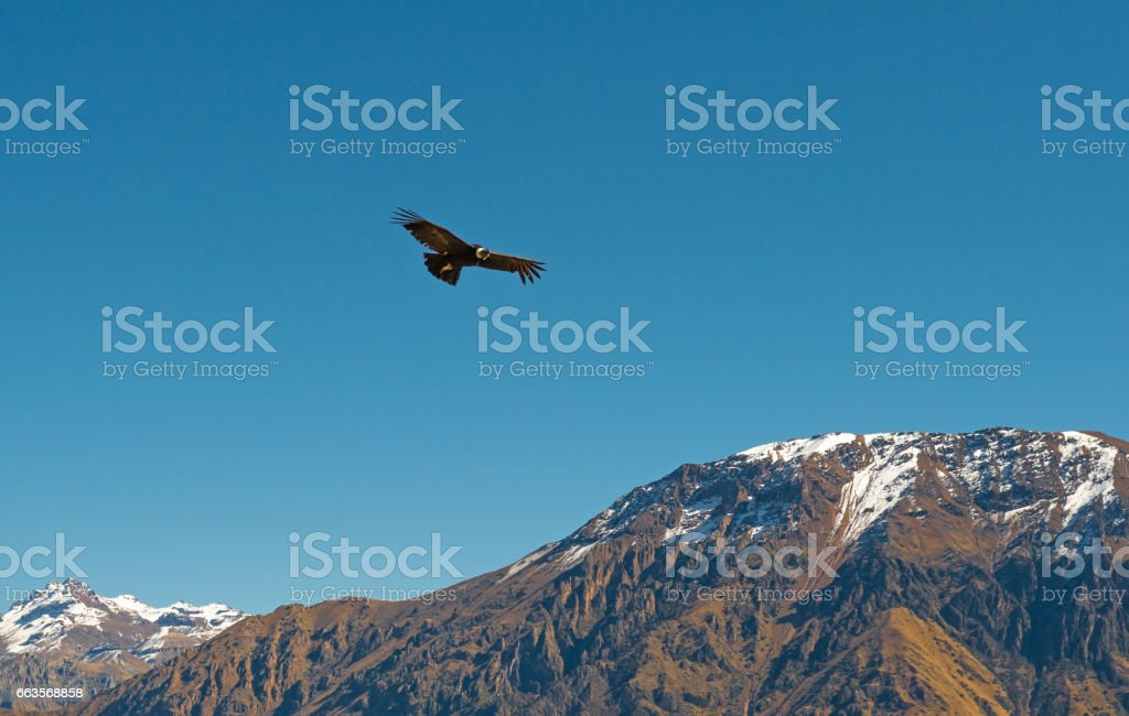 Flight of the Condor stock photo