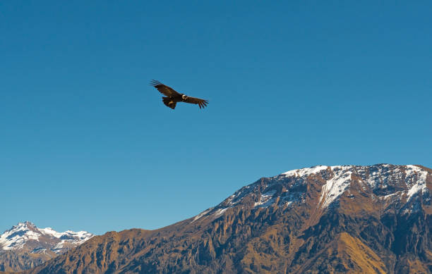 Flight of the Condor stock photo