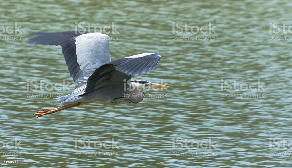 Flight of the grey heron royalty-free stock photo