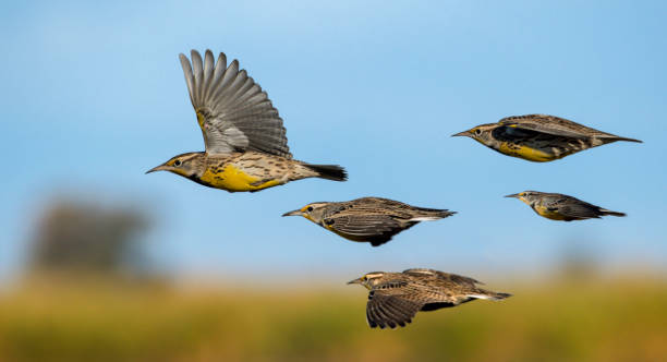 Flight of the Meadowlarks stock photo