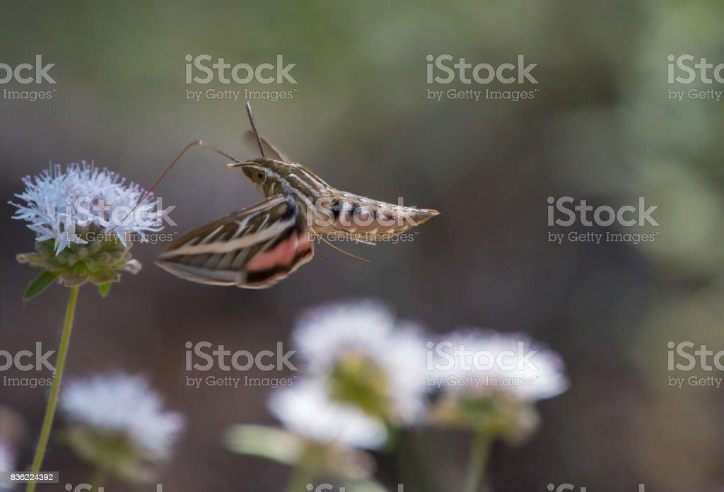 Flight of the White Lined Sphinx Hummingbird Moth stock photo