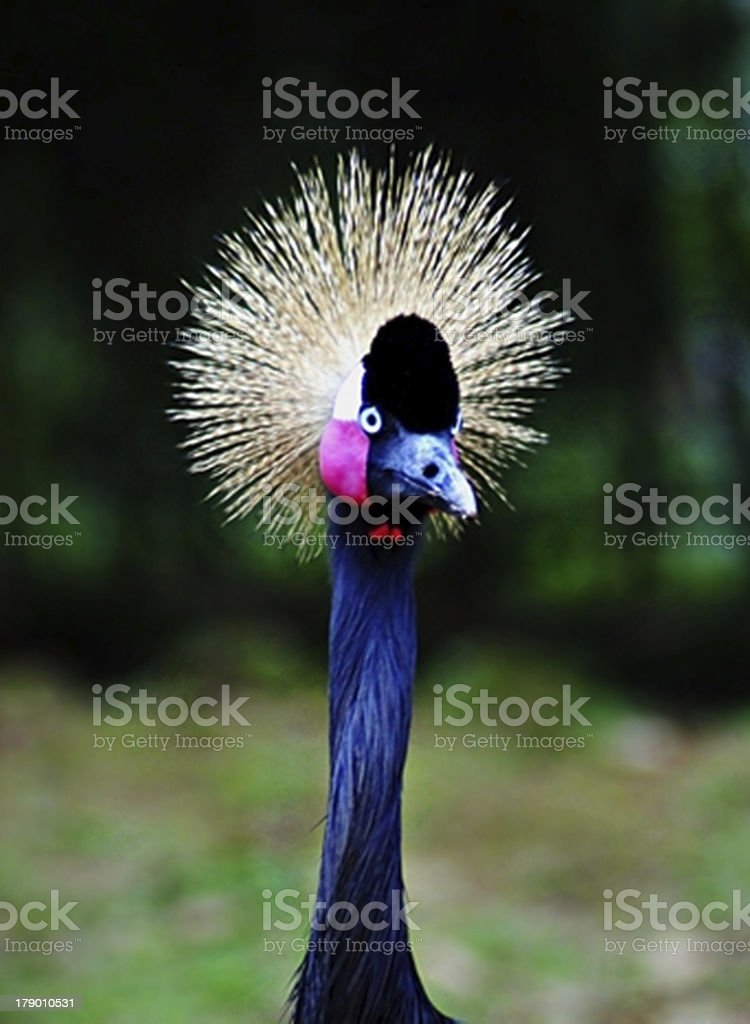 flightless bird royalty-free stock photo