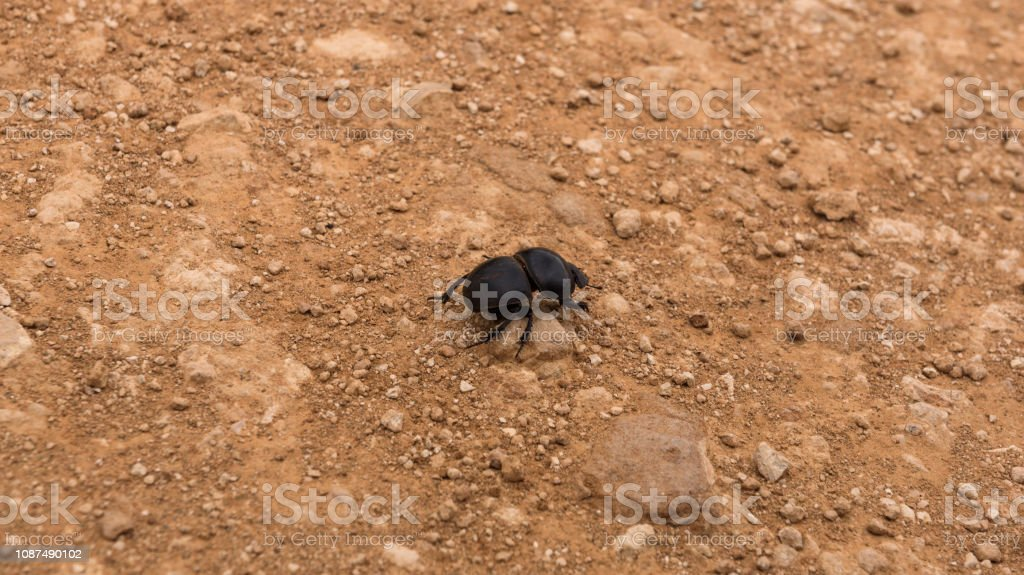 Flightless dung beetle searching for elephant droppings to bring home stock photo