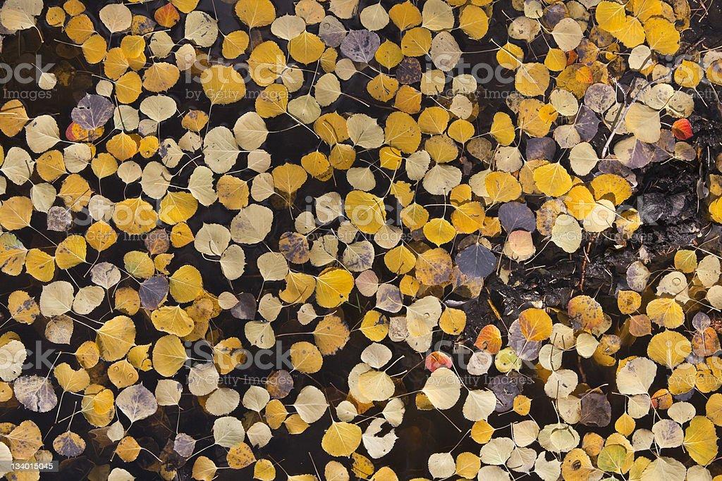 Floating Aspen Leaves royalty-free stock photo