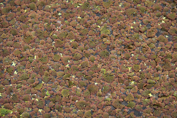 Floating fern - Azolla pinnata on pond surface stock photo