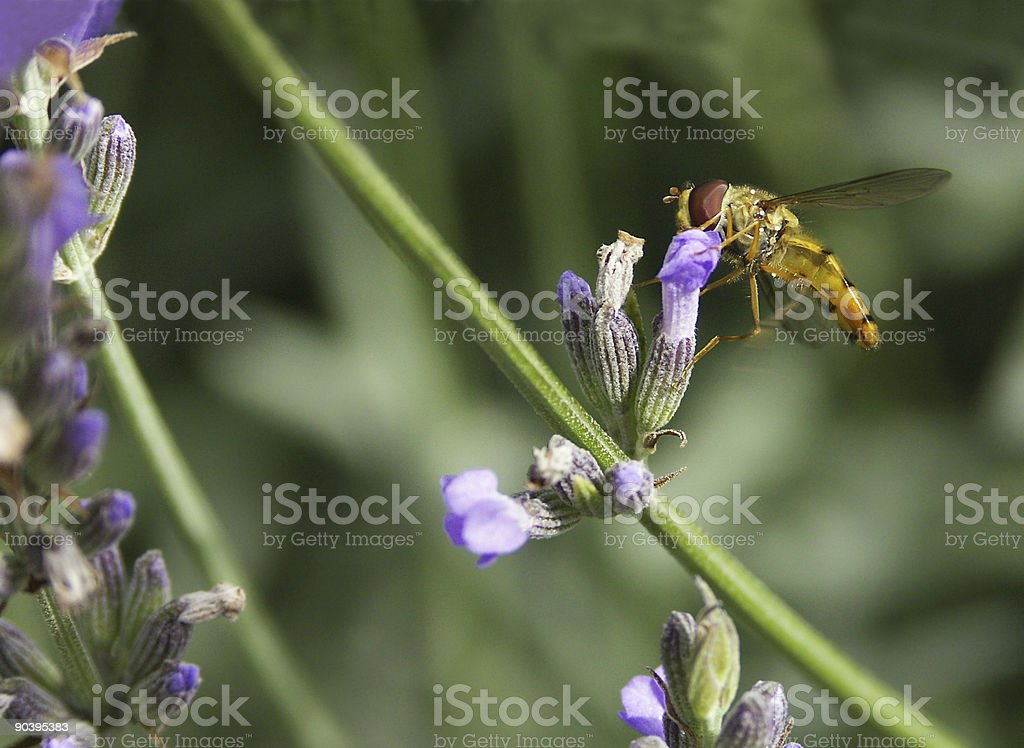 Floating fly on lavenders 2 stock photo