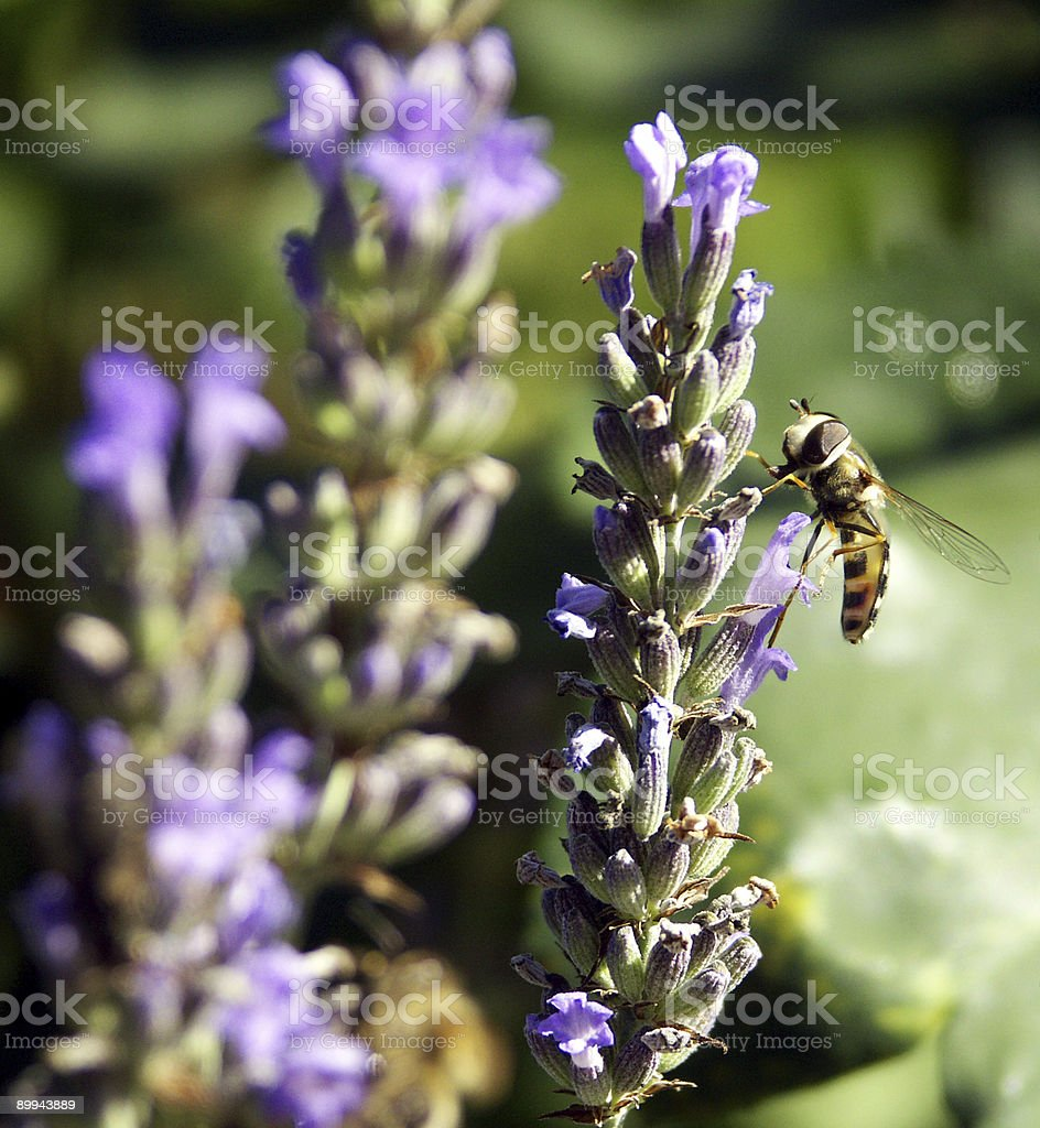 Floating fly on lavenders stock photo