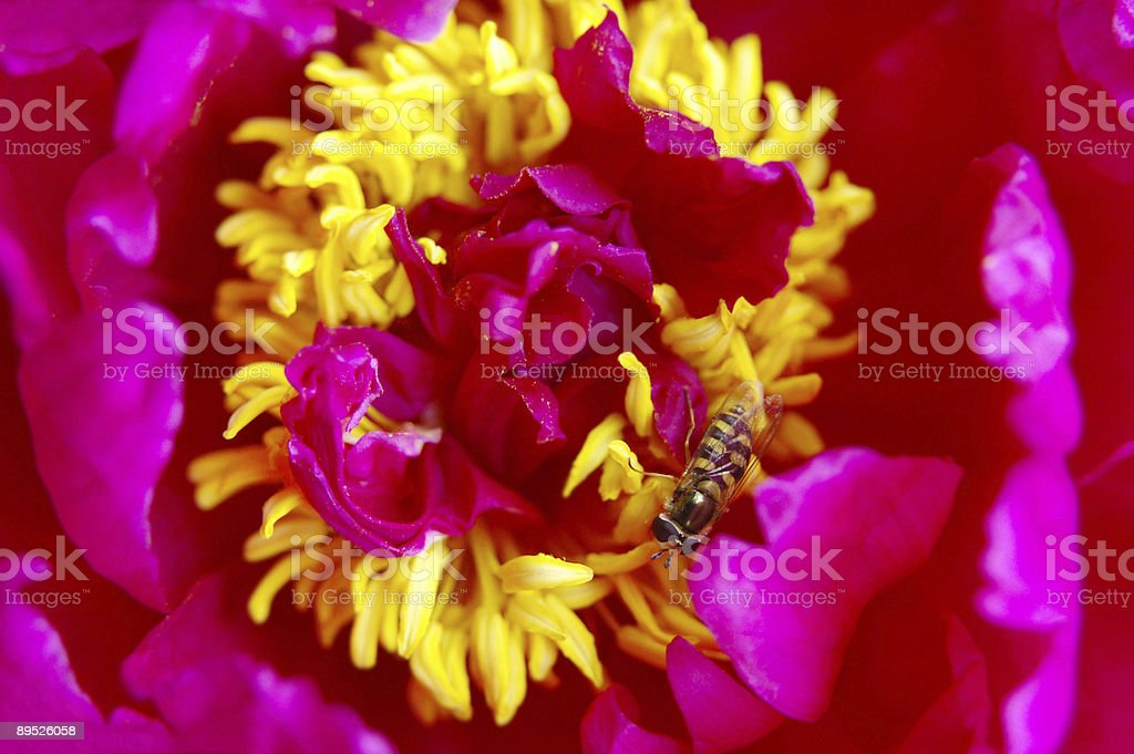 Floating fly on peony flower 1 royalty-free stock photo