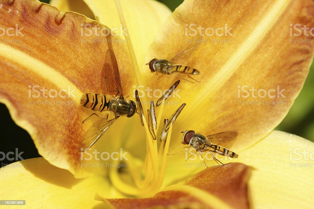 Floating flys on day lily stock photo