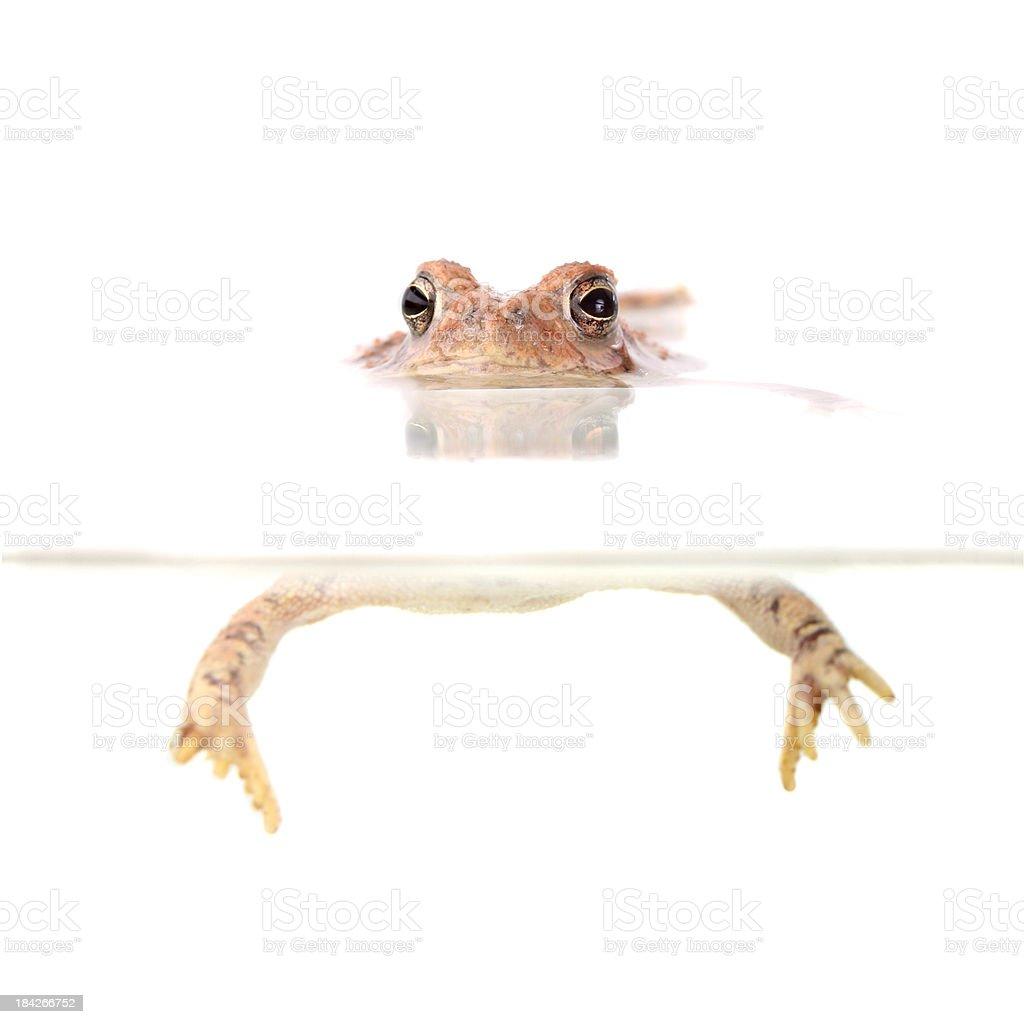Floating Frog royalty-free stock photo