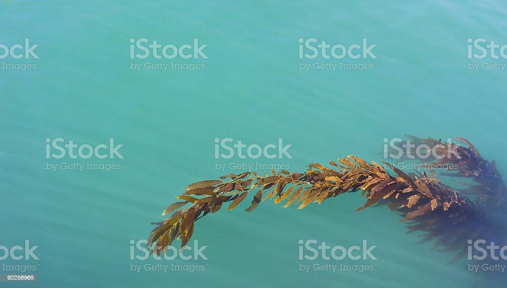 Floating Kelp stock photo