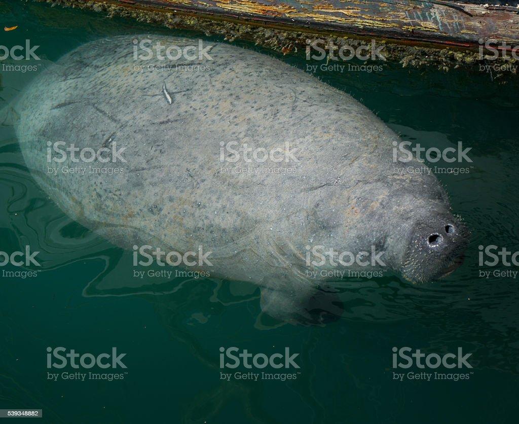 Floating Manatee stock photo