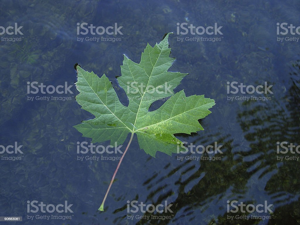 Floating Maple Leaf royalty-free stock photo