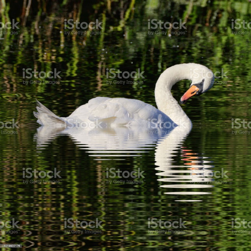 Floating mute swan with fractal reflection on square format stock photo