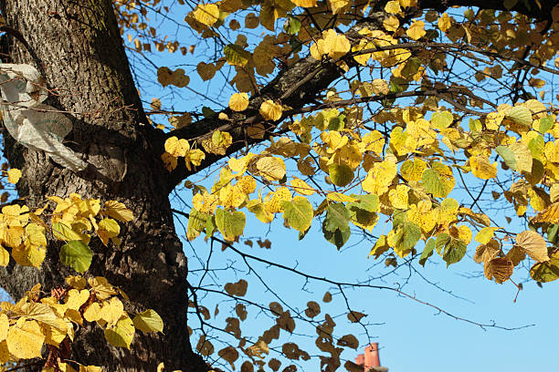yellow autumn leaves of lime tree blue sky - whiteway stock photos and pictures