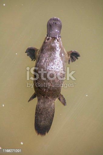 Schwimmendes Schnabeltiere in braunem Wasser. Foto aufgenommen im Eungella-Nationalpark in Queensland,Australien.