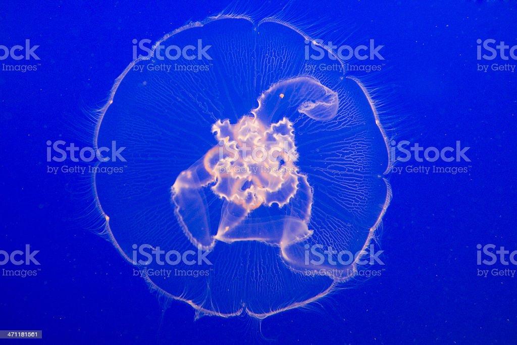 floating yellyfish royalty-free stock photo