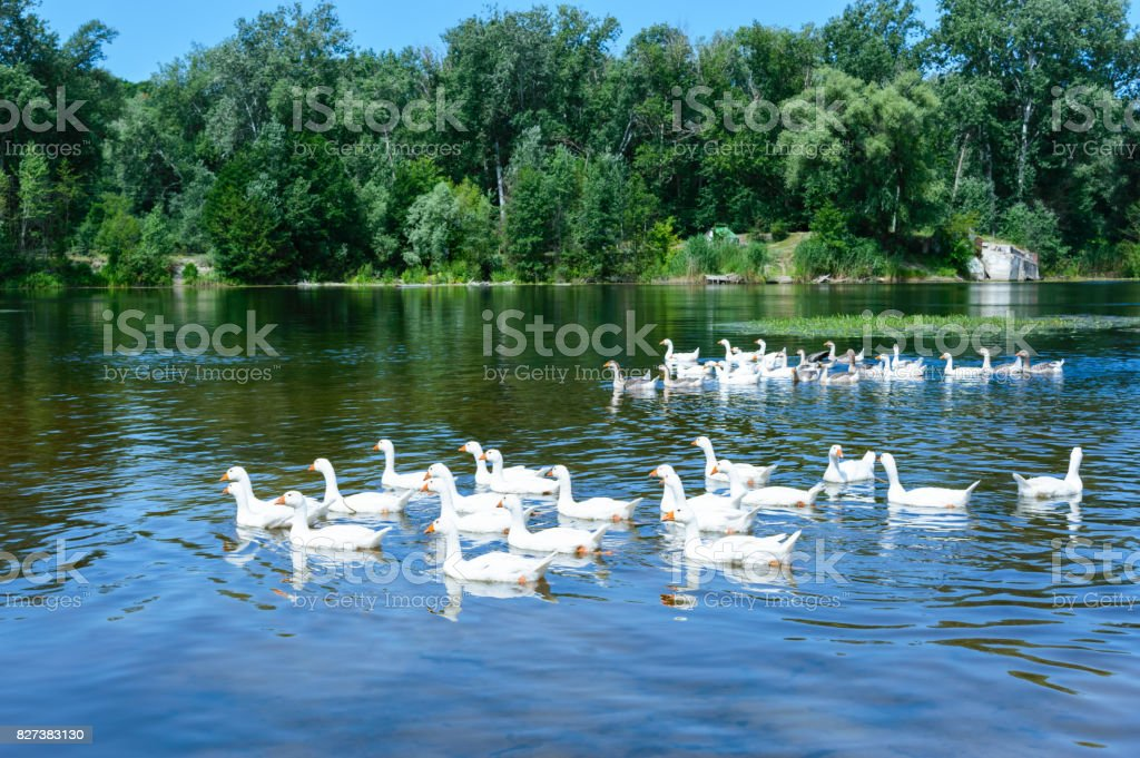 Flock geese swimming on the water. Beautiful view of the river and forest. stock photo