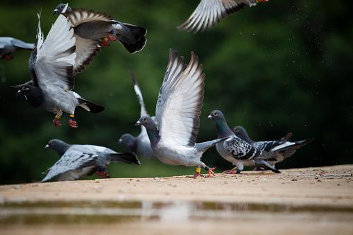 flock homing pigeo flying over home loft roof