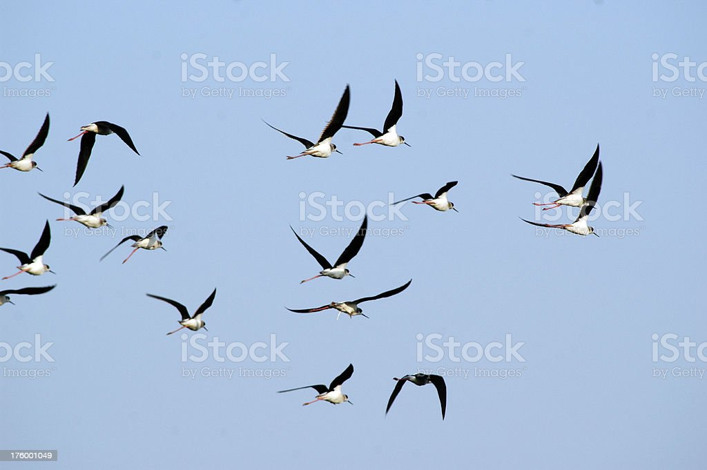 Flock in Flight stock photo