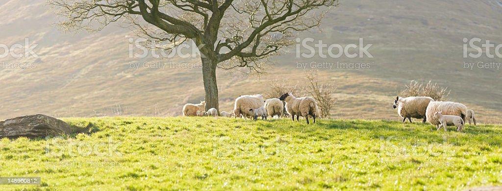 Flock in sunlight royalty-free stock photo