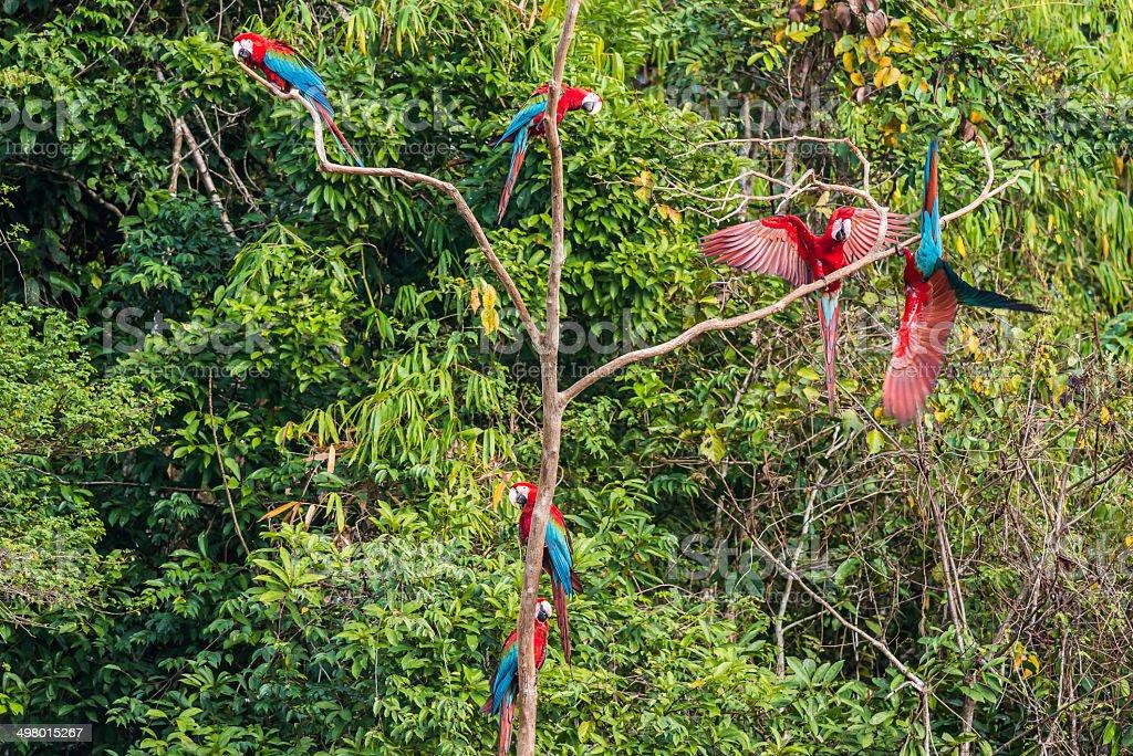 flock macaws standing three peruvian Amazon jungle stock photo