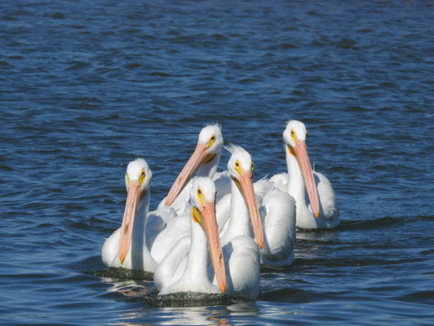 Flock of American White Pelicans Swimming in the Gulf stock photo