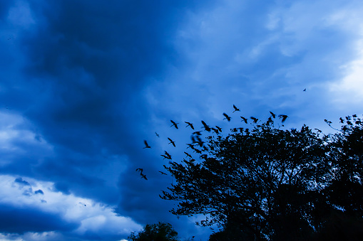 A flock of Asian openbill suddenly flying off from the tree while cloudy and storm is coming.