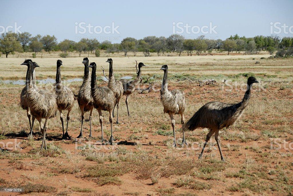 Flock of Australian Emus royalty-free stock photo