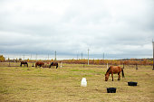 flock of beautiful horses graze in an autumn meadow next to a haystack behind a fenceю  beautiful atmosphere rainy sky