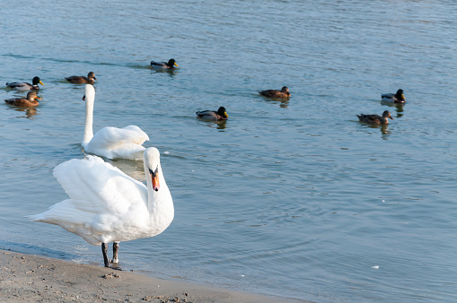 Flock of beautiful white mute swans swim in the blue water surrounded by ducks selective focus