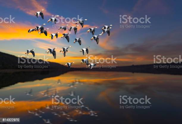 Flock of bird flying at sunset over a lake picture id814322970?b=1&k=6&m=814322970&s=612x612&h=m7wpvohvzz lsln5vewb6sw 9ynut29aecrwkcgjd7u=