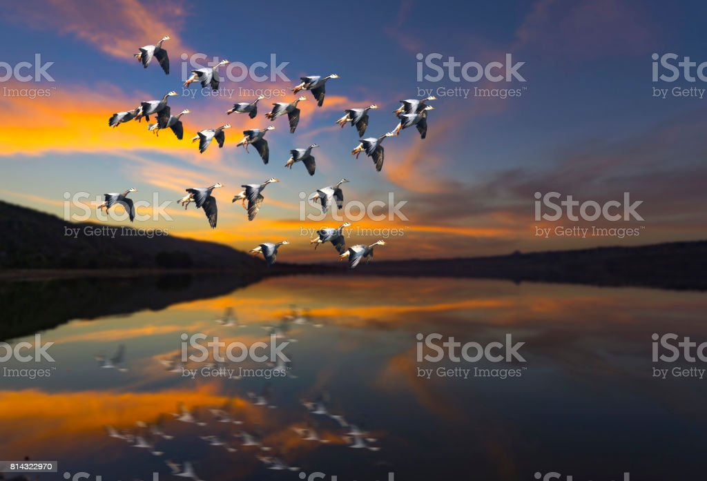 Flock of bird Flying at sunset over a lake stock photo