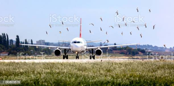 Flock of birds are very dangerous for airplane picture id1150803515?b=1&k=6&m=1150803515&s=612x612&h=f yb lpzlesmenadkj4behmhs6z5wms5skstm5hjuru=
