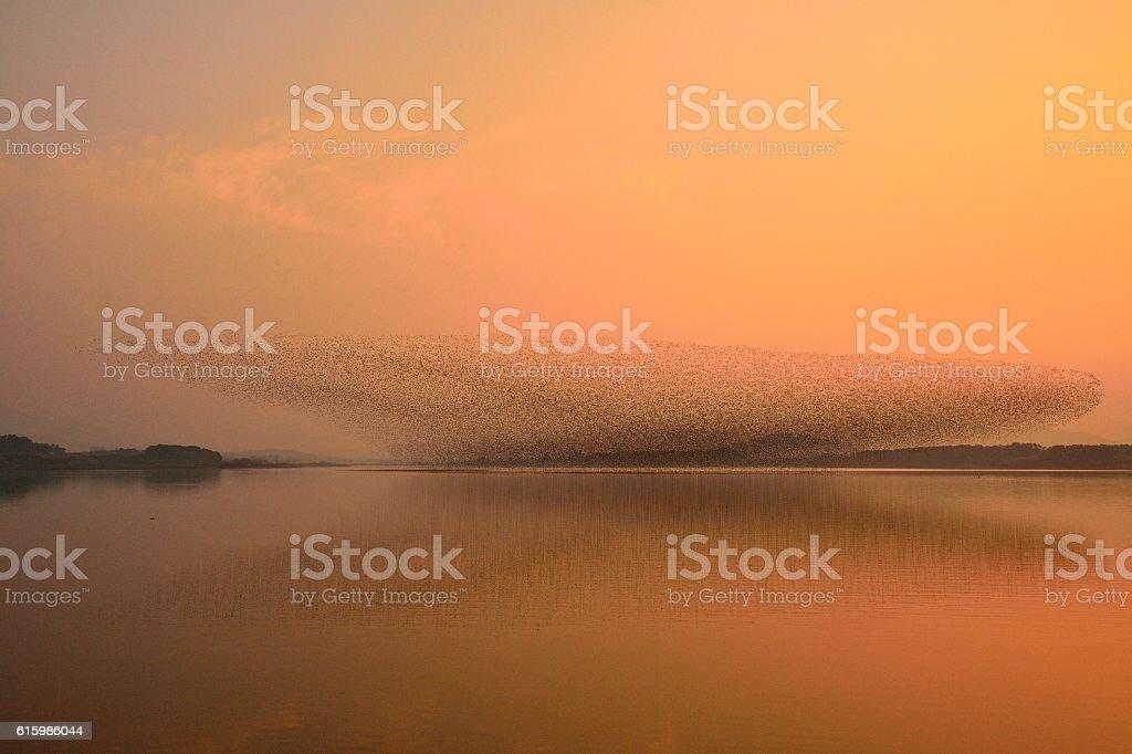 Flock of birds - Baikal Teal stock photo