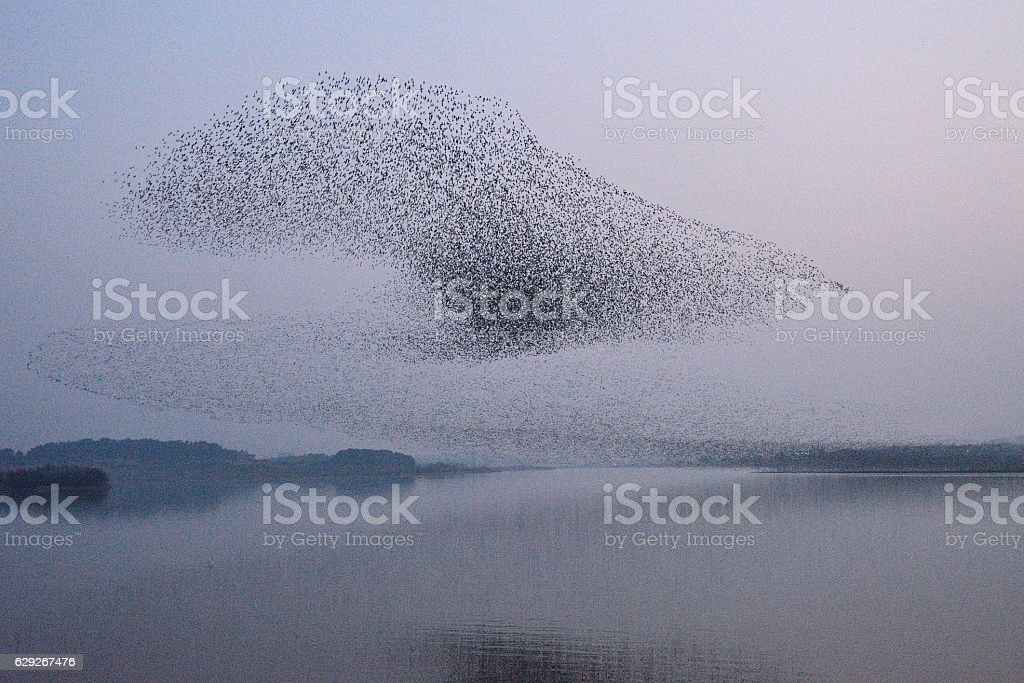 Flock of birds - Baikal Teal stock photo