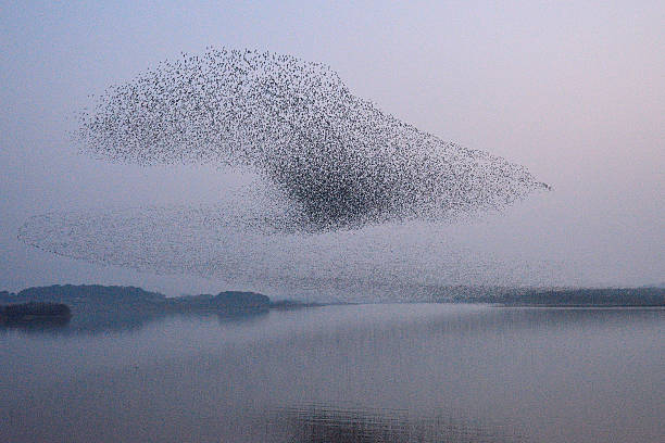flock of birds - baikal teal - pájaro fotografías e imágenes de stock