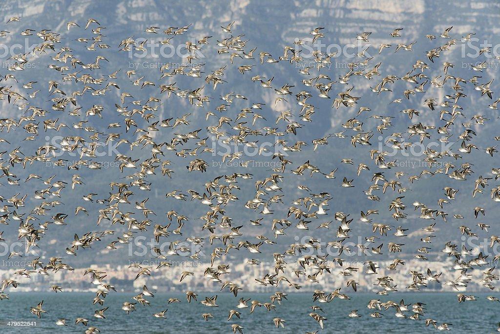 Flock of birds, Dunlin, Calidris alpina in Ebro delta, Spain stock photo