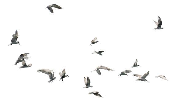 Vogelschwarm fliegt isoliert auf weißem Hintergrund. – Foto